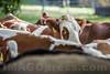 Ende der Alpsömmerungc 2017 in Aedermannsdorf - Hirt Christian Tschumi und seine Frau Heidi konnten mit Helfern die während der Alpsömmerung betreuten Tiere an die Besitzer zurückgeben. Die Rinder wurden am 15.09.2017 auf der Allmend von den Bauern in spezielle Anhänger geladen und nach Hause gebracht © Patrick Lüthy/IMAGOpress.com
