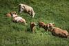 Kühe auf einer Weide in Gross - Rohrgraben Seehof BE © Patrick Lüthy/IMAGOpress.com
