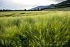 Gerstenfeld beim Hüslerhof in 4622 Egerkingen © Patrick Lüthy/IMAGOpress.com