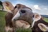 Rinder beim Hüslerhof in 4622 Egerkingen © Patrick Lüthy/IMAGOpress.com