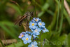 Myosotis alpestris - Boraginaceae family + diptera . Valsesia, Piedmont, Italy / Myosotis alpestris - familie Boraginaceae + diptera . Valsesia , Piedmont , Italy / Valsesia , Piemont , Italien © Silvina Enrietti/IMAGOpress.com 2016