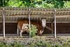 Kuh bei einem Unterstand in Gänsbrunnen SO © Patrick Lüthy/IMAGOpress.com