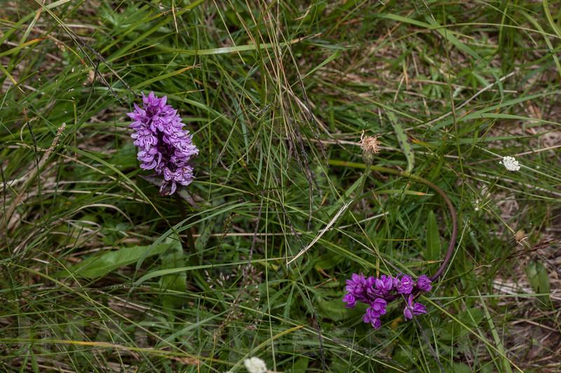 Dactylorhiza sp. - Orchidaceae family . Valsesia, Piedmont, Italy / Dactylorhiza sp. - familie Orchidaceae . Valsesia , Piedmont , Italy / Valsesia , Piemont , Italien © Silvina Enrietti/IMAGOpress.com 2016