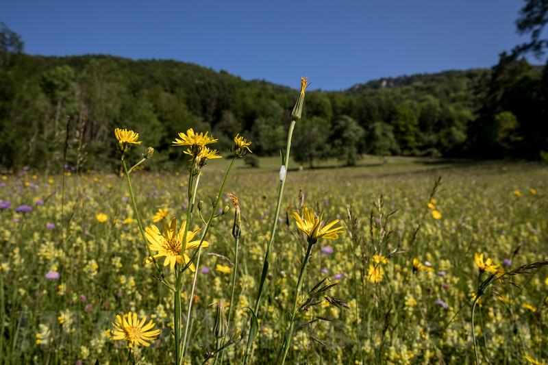 Blumenfeld beim Unterwald in 4622 Egerkingen © Patrick Lüthy/IMAGOpress.com