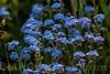 Myosotis alpestris - Boraginaceae family . Valsesia, Piedmont, Italy / Myosotis alpestris - familie Boraginaceae . Valsesia , Piedmont , Italy / Valsesia , Piemont , Italien © Silvina Enrietti/IMAGOpress.com 2016