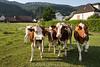 Rinder auf einer Wiese in Egerkingen © Patrick Lüthy/IMAGOpress.com