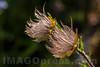 Geum montanum Rosaceae family . Valsesia , Piedmont , Italy / Geum montanum Familie Rosaceae . Valsesia , Piemont , Italien © Silvina Enrietti/IMAGOpress.com