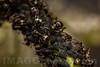 Symbiosis : case of Mutualism between ants and aphids . Valsesia , Piedmont , Italy / Symbiose: Fall von Gegenseitigkeit zwischen Ameisen und Blattläusen . Valsesia , Piemont , Italien © Silvina Enrietti/IMAGOpress.com 2016