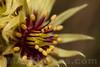 Sempervivum grandiflorum - Crassulaceae family . Valsesia , Piedmont , Italy / Sempervivum grandiflorum - familie Crassulaceae . Valsesia , Piemont , Italien © Silvina Enrietti/IMAGOpress.com 2016