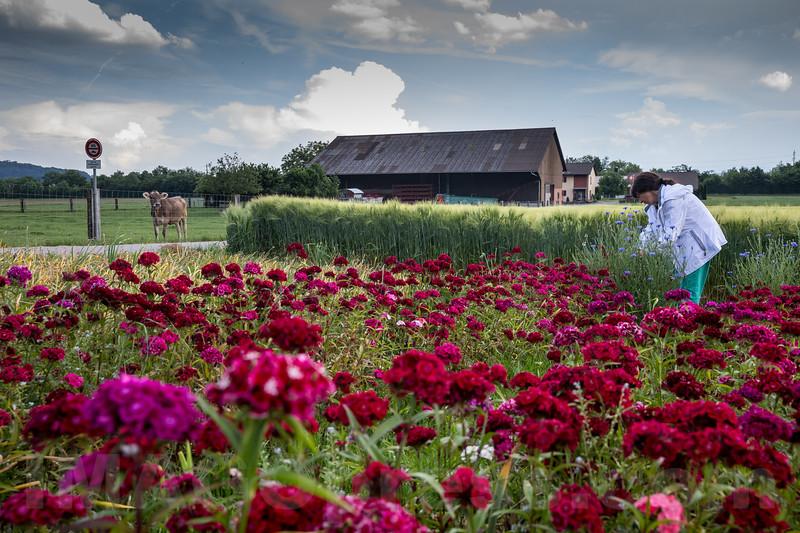Blumen zum Selberpflücken auf dem Hüslerhof in 4622 Egerkingen © Patrick Lüthy/IMAGOpress.com