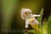 Galeopsis sp. - Lamiaceae family + mite of the Holothyrida order . Valsesia , Piedmont , Italy / Galeopsis sp. - familie Lamiaceae + Milbe der Ordnung der Holothyrida . Valsesia , Piemont , Italien © Silvina Enrietti/IMAGOpress.com 2016