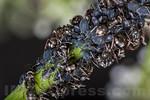 Symbiosis : case of Mutualism between ants and aphids . Valsesia , Piedmont , Italy / Symbiose: Fall von Gegenseitigkeit zwischen Ameisen und Blattl�usen . Valsesia , Piemont , Italien � S ...