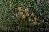 Bupleurum sp. - Apiaceae family . Valsesia , Piedmont , Italy / Bupleurum sp. - familie Apiaceae . Valsesia , Piemont , Italien © Silvina Enrietti/IMAGOpress.com 2016