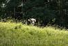 Weidende Kuh in Gänsbrunnen SO © Patrick Lüthy/IMAGOpress.com