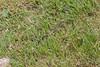 Vipera aspis , Viperidae family . Valsesia , Piedmont , Italy / Vipera aspis , familie Viperidae . Valsesia , Piemont , Italien © Silvina Enrietti/IMAGOpress.com 2016