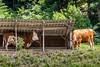 Kühe bei einem Unterstand in Gänsbrunnen SO © Patrick Lüthy/IMAGOpress.com