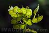 Biscutella laevigata - Brassicaceae family . Valsesia , Piedmont , Italy / Biscutella laevigata - familie Brassicaceae . Valsesia , Piemont , Italien © Silvina Enrietti/IMAGOpress.com 2016