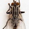 BenV Housefly 1to1 05 10