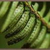 Fern Spores (bdr)- Ed S