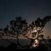 Pine Silohuette