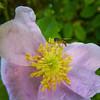 Flagg_Judy_macro_tiny_wasp