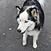 Esther Spektor  - Siberian Husky dog 25604645975_e9551b719e_o (2)