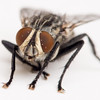 BenV Housefly 2to1 05 10