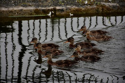 Ducklings on the Grand Canal at Monasterevin. Fri 16.06.17