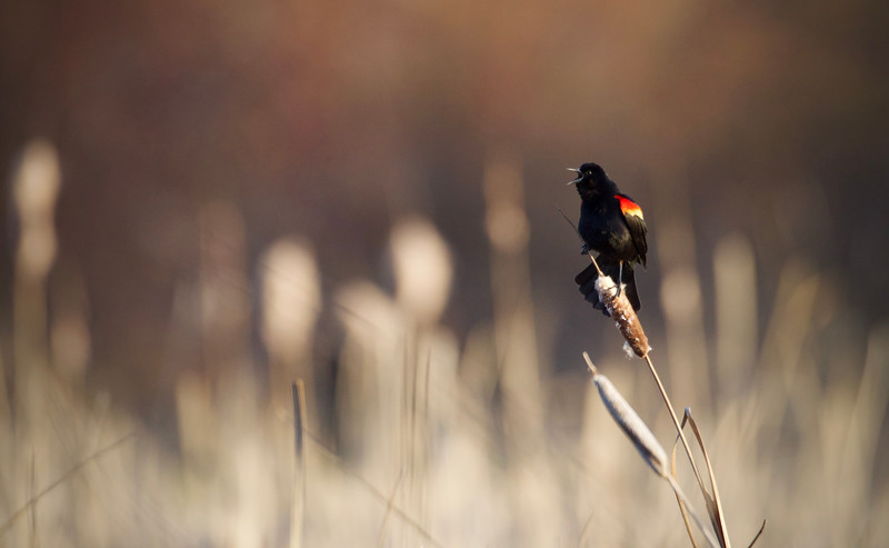 Red-winged Blackbird in soft evening light