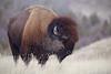 American Bison - a mature bull in prairie habitat