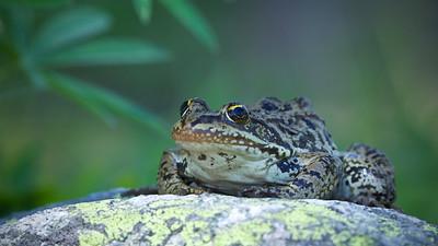 Cascades Frog, found at 6,000 feet elevation!