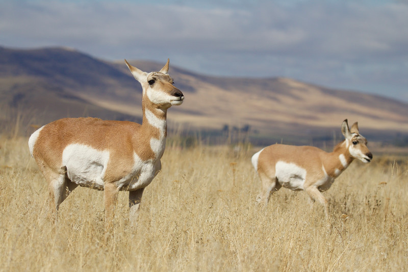 Pronghorn on the prairie