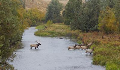 A bull Elk herds his harem across a stream