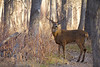 "A dominant Whitetail buck at the peak of the November breeding season, a.k.a. ""the rut"""