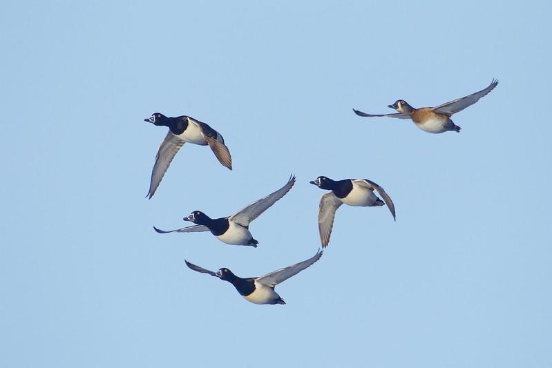 Ringneck Ducks courtship flight