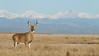 Whitetail buck environmental portrait, with the Rocky Mountains in the distance.