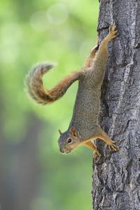 Tree Squirrel in forest habitat