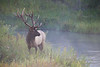 Bull Elk along a misty stream in early morning light