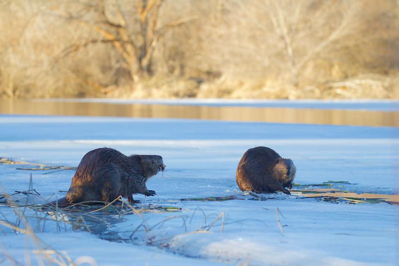 Beavers on the ice