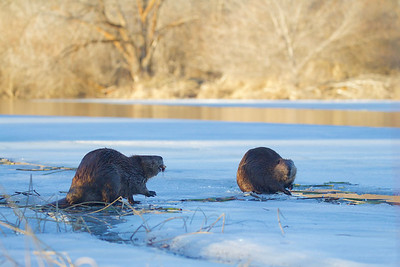 Beavers on the ice