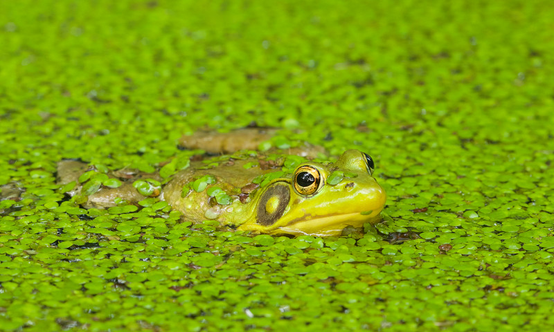 Green Frog in duckweed