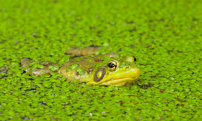 Green Frog in duckweed
