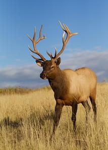 Young bull Elk on the prairie