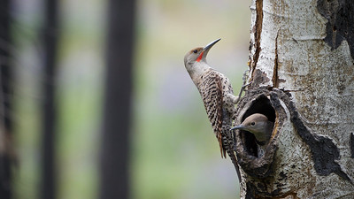 Northern Flickers nesting in a burned-over pine forest