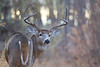 Whitetail buck in woodland habitat