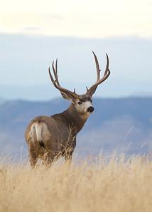 Mule Deer buck overlooks the distant Flathead Valley in western Montana