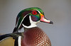 A drake Wood Duck sporting his gorgeous iridescent plumage.