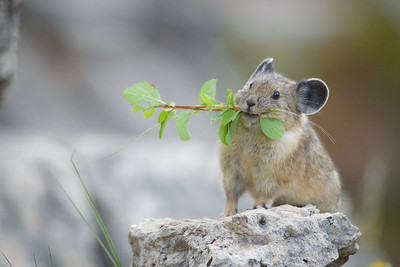 American Pika in Yellowstone National Park