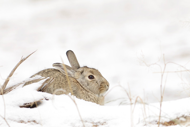 Cottontail Rabbit after a heavy snowfall