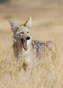 Coyote on the prairie